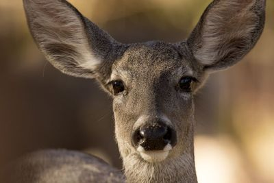 Coues Deer, Sonora, Mexico
