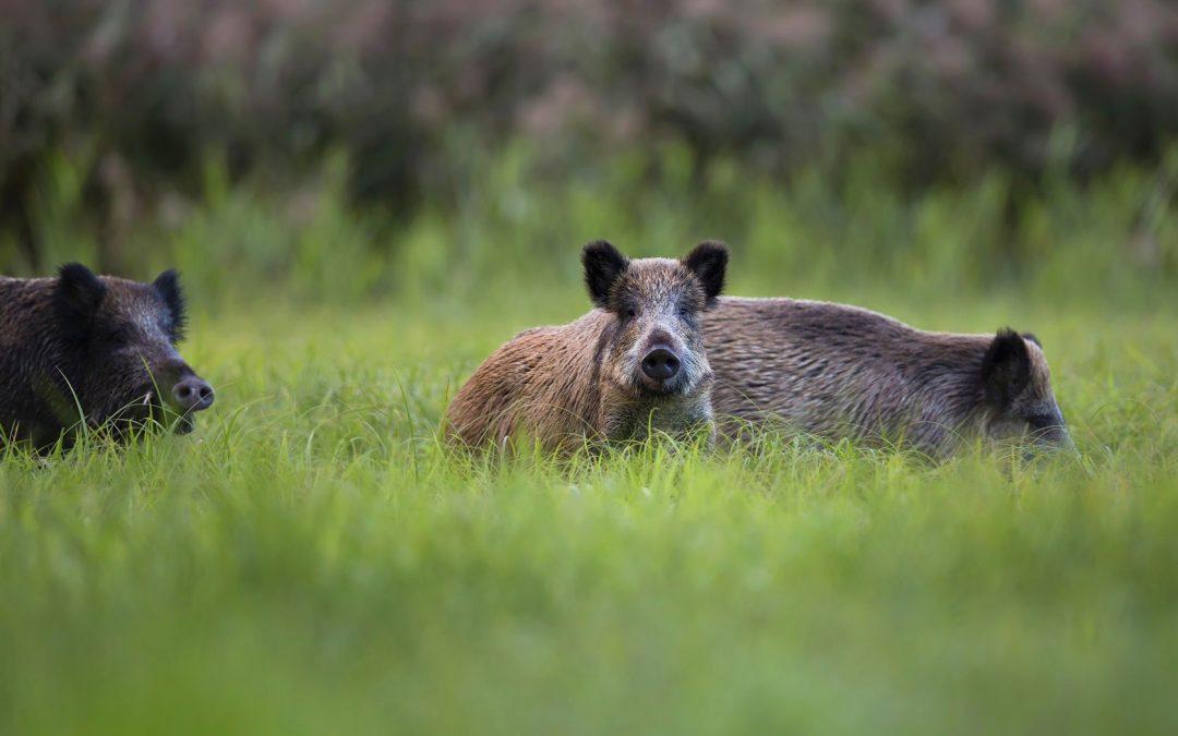Wild Boar, Turkey