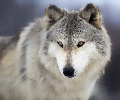 Wolf, Romania