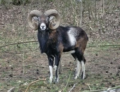 Mouflon, Croatia