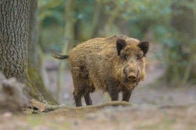 Wild Boar, Romania