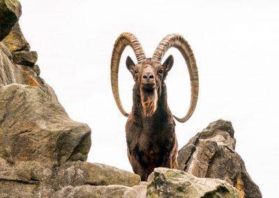 Mid Asian Ibex, Tajikistan