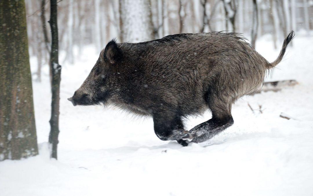 Wild Boar, Czech Republic